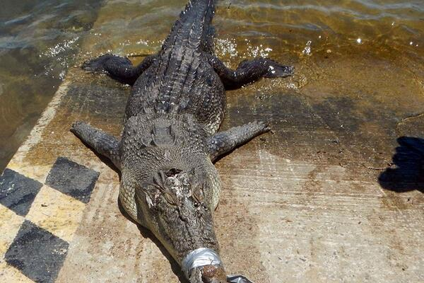 A crocodile killed during an earlier PRT operation.