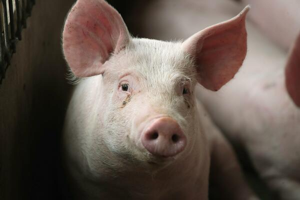 """""""Boosting farmer's capacity to ensure they properly manage their pig farms is necessary to guarantee good productivity,"""" Mr. Atupule said."""