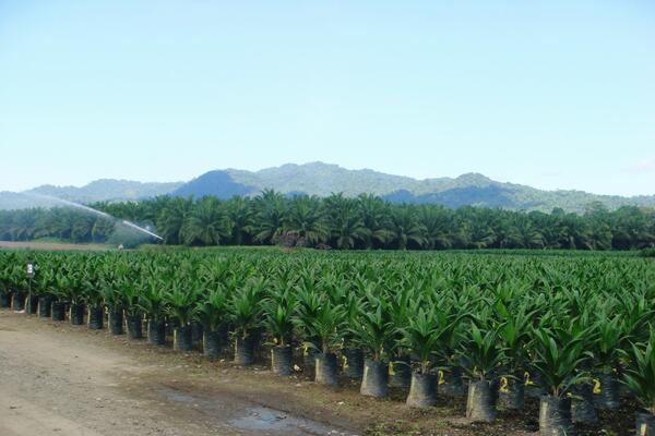 A good example of how such development projects can deliver both development and community benefits is the growth of palm oil plantations in Guadalcanal.