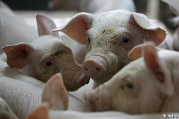 """""""The virus is not transmissible from animals to humans, meaning there is no direct impact on human health, so there is no need to panic just yet,"""" the World Organisation for Animal Health said."""
