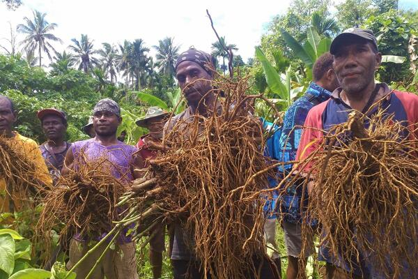 He says that in 2018 kava production on Guadalcanal was 1.2 metric tonnes, compare that to other provinces like Isabel which recorded 12 metric tonnes during the same period.