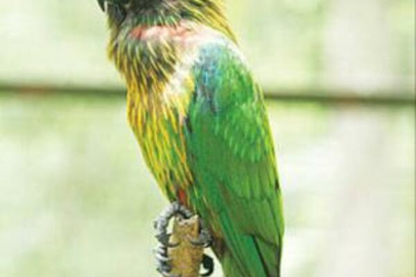 Between 2000 and 2010, more than 54,000 birds, mainly parrots and cockatoos, were imported from the Solomon Islands and declared as captive bred.