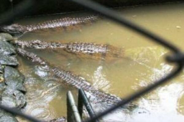 The numbers of crocodiles in Solomon Islands started to increase after the trade in crocodile skin was banned in the early 1980's.