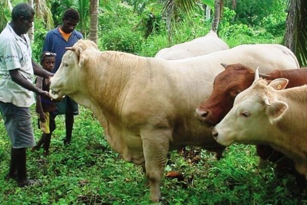 The government of Vanuatu has stated that it will cease the export of live cattle to the Solomon Islands if these animals are killed.
