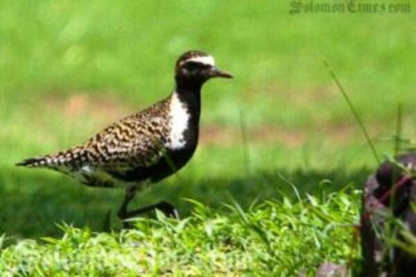 Image of a Golden Plover in Samoa, a migratory bird that travels annually to the Pacific region from Alaska to feed and develop their summer plumage before migrating back home.