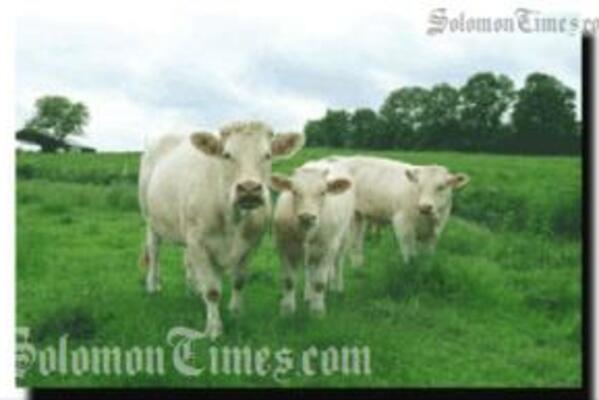 The Cattles will be kept at FoxWood, east of Honiara.