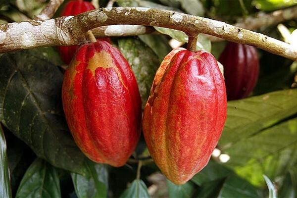 """The study has been very helpful in clarifying what the reality of Solomon Islands cocoa position in the market is and the market factors that are affecting export returns,"" said Mr Alfred Ramoagalo, General Manager for CEMA."