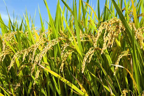 Academic Highlights Difficulties in Reviving the Rice Industry