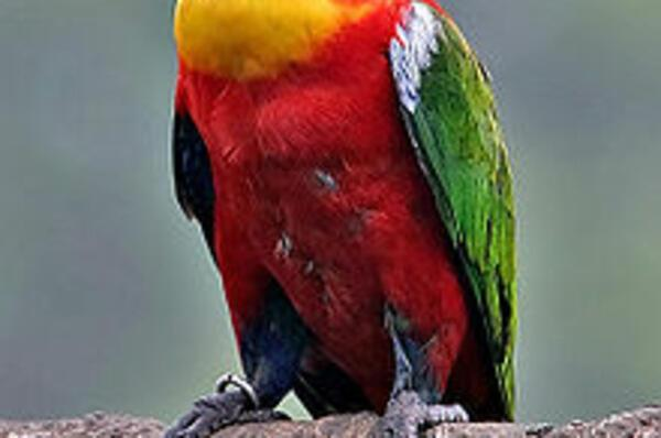 The yellow-bibbed lory (Lorius chlorocercus) is a monotypic species of parrot in the Psittaculidae family and is endemic to the Solomon Islands.