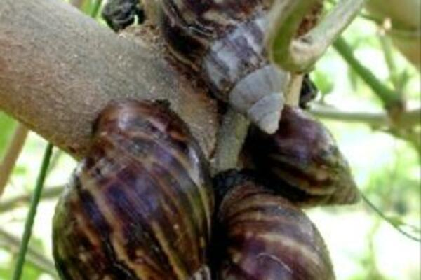 Giant African Snails Cause Concern