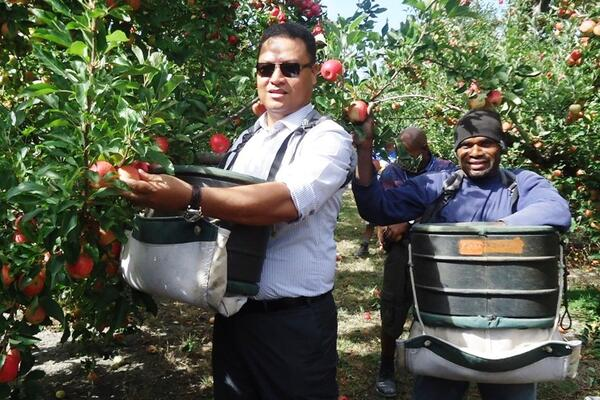 Minister Forau tries out apple picking in a farm in New Zealand.