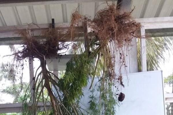 Police Uproots Marijuana Plants in West Rennell