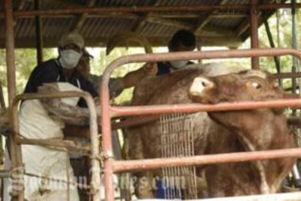 Agriculture officers testing cattle for Brucellosis in Tailevu, Fiji.