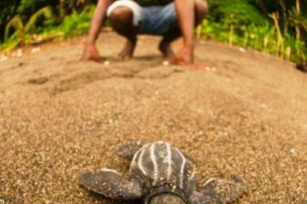 More than 1000 endangered green and leatherback turtles hatched from nests on Tetepare beaches.