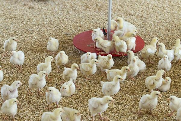 Project recipients/farmers will collect their day old chicks, stockfeed and equipment from Vuvula Poultry Limited.
