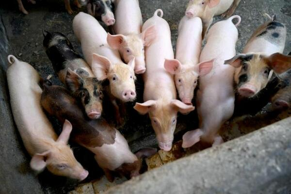 The Philippines confirmed on Sunday (Feb 9) that African swine fever infections had spread in the south of the country, which accounts for nearly a third of the nation's 12.8 million pig herd.