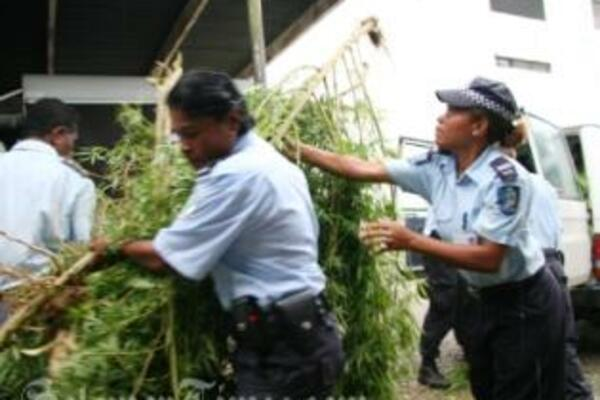 Police officers with uprooted marijuana plants being loaded onto waiting police vehicles.