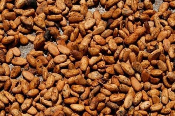 Some market analysts are even more concerned, forecasting a cocoa surplus of 250,000 tonnes for the 2016-2017 harvest.