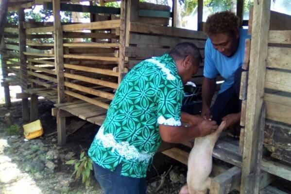 An officer from the livestock team conducts the castration procedure with the aid of the piggery farmer.