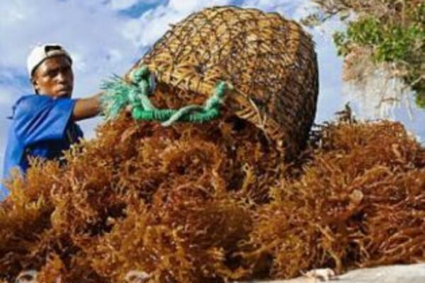 The two Asian business associates continue to export seaweed despite the cancellation of their work and residential permits.