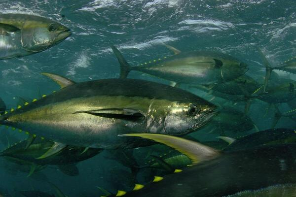 VDS Raises Fishing Revenue for Pacific