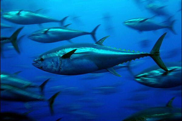 This year, the pressure from US, Asian and European fleets for tuna fishing days will be heavy.