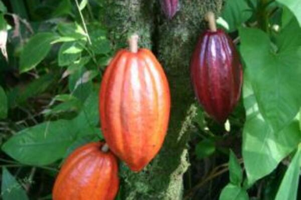 The Pod Moth could be a potential threat following the destruction of Cocoa Pods in Bougainville.