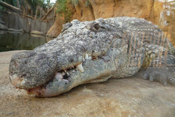 Crocodile Kills Elderly Man in Western Province
