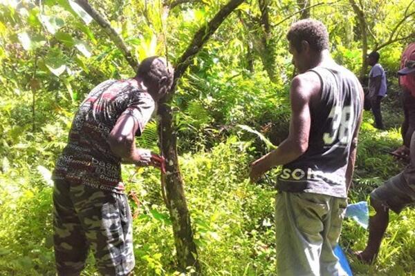 Cocoa PAR farmers at Uzamba in Vella La Vella doing side grafting of a mature cocoa tree.