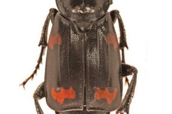 The Nicrophorus efferens are a part of six other specimens collected in 1968. But they were unrecognised as well as undescribed species for more than 40 years.