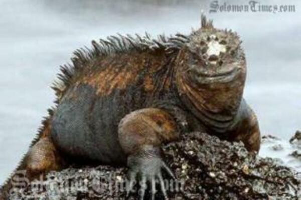 The marine iguana that is worrying islanders of Qamea Island in Fiji.