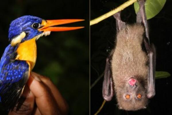 Left: Variable dwarf kingfisher; right: Monkey-faced bats. Both are native to the Solomon Islands and the monkey-faced bat species are recognised by the IUCN RedList as endangered or critically endangered