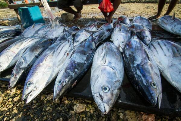 Tuna for sale at Auki market, Malaita Province, Solomon Islands.